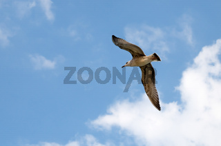 Seagull. A seagull flying on a beautiful blue sky with clouds.