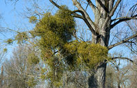 Mistletoe (Viscum album) on Poplar Tree,Rhineland,Germany