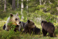 Brown bear mother with cubs