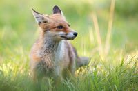 Cute red fox standing on green grass in summer with blurred background.