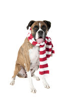 Beautiful Brown Boxer Dog in Holiday Christmas Scarf  looking toward camera isolated on white.