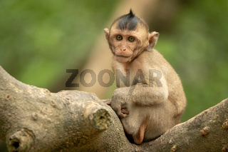 Baby long-tailed macaque in tree faces camera