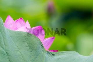 summer natural scene of lotus flower