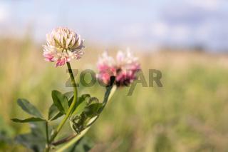 Wild flower clover. Pink flower in the field. Beautiful plant.