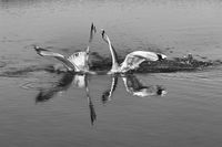 Two seagulls fighting for fish with head underwater