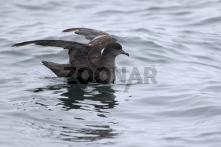 Short-tailed shearwater sitting on the water and ready to fly
