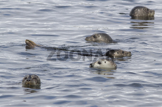 group of Harbor seal peeking out of the water off the coast of the Pacific island