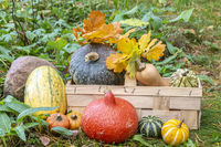 Pumkin and squashes in a basket in a garden