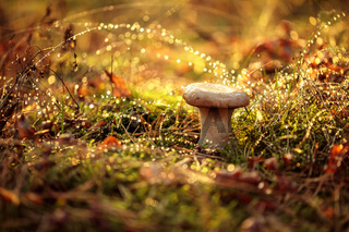 Mushroom Boletus In a Sunny forest in the rain.