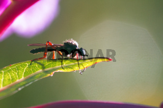 robber fly (Asilidae) blue-black