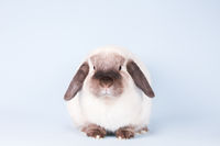 Mini Lop Rabbit on Isolated Background