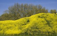 Rapeseed grown hill