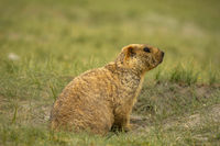 Himalayan Marmot, Marmota himalayana inhabits alpine grasslands throughout the Himalayas and on the Tibetan Plateau Jammu and Kashmir, India.
