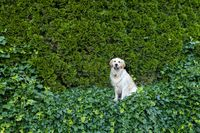 Golden Retriever dog on green