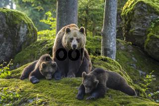 European Brown Bears