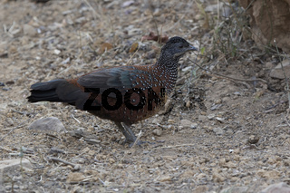 male Painted Spurfowl who stands on the edge of the forest on a winter evening