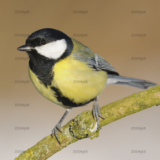 Great Tit *Parus major* perched on a branch, detailed view