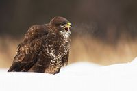 Wild common buzzard screeching with beak wide open and sitting on snow in winter
