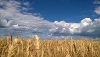 Wheat field under blue cloudy sky in Ukraine
