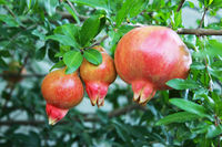 Three ripening fruits of the Punica pomegranate on a tree branch in the courtyard of a private house. Republic of Crimea