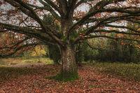 Oak in the Lueneburger Heath