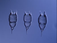 Radiolarians from the sea under the microscope 100x