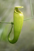 Carnivorous Nepenthes pitcher plant (Nepenthes madagascariensis)  in situ, Madagascar