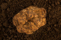 White truffle (tuber magnatum) on earth background.