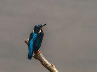 Ceylon Blue Eared Kingfisher