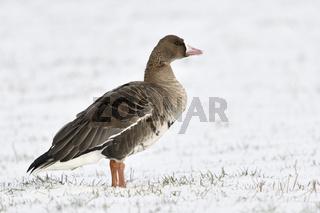 allein auf weiter Flur... Blässgans *Anser albifrons* auf schneebedeckte Wiese, Weide am Niederrhein