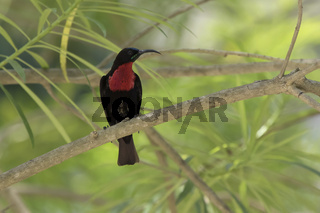 male Scarlet-chested Sunbirds who sits in the shade on a branch of a large bush
