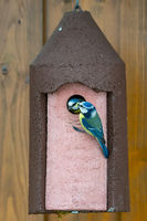 Blue Tit bird feeding its baby at the birdhouse