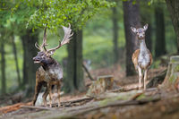 Fallow deer roaring in the forest during rutting season with hind