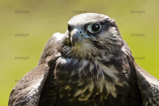 Laggarfalke (Falco jugger), also called Luggerfalke, Pelm, Germany, Europe