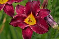 beautiful red day lily flower head against a green bokeh background