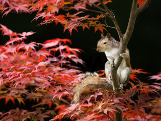 Grey Squirrel sitting on a colorful Japanese Maple tree