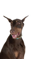 Hedshot  Brown and Tan Doberman Pinscher Dog isolated on white
