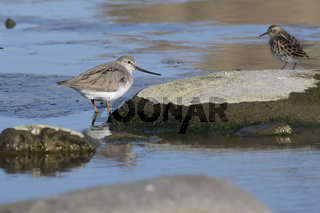terek sandpiper standing between rocks on a shallow river basin on a sunny spring day