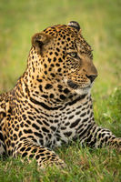 Close-up of male leopard head turned right