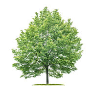 Isolated tree on a white background - Tilia - Lime tree