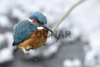 bei Eiseskälte... Eisvogel * Alcedo atthis * im Winter, später Wintereinbruch