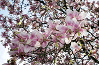 View from below in a blossoming magnolia tree