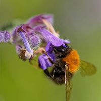 tree bumblebee on a catnip