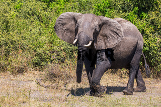 Elephant - loner in Chobe National Park