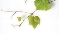 Weinblaetter, Vitis vinifera, Weintrieb