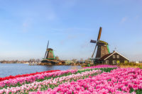 Rotterdam Netherlands, Dutch Windmill at Kinderdijk Village with tulip field