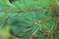 Fir tree brunch close up. Shallow focus. Fluffy fir tree brunch close up. Copy space