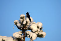 Magpie on black pine