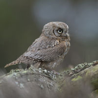 Eurasian Scops Owl * Otus scops *, one of the smallest owls in Europe