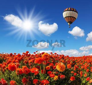 The fields of red garden buttercups